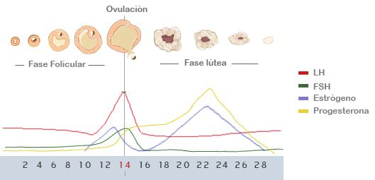 Ovulación: Ciclo menstrual