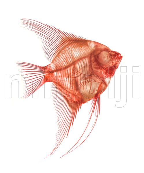 This Is A Detailed Photograph Of A Wild Altum Angelfish