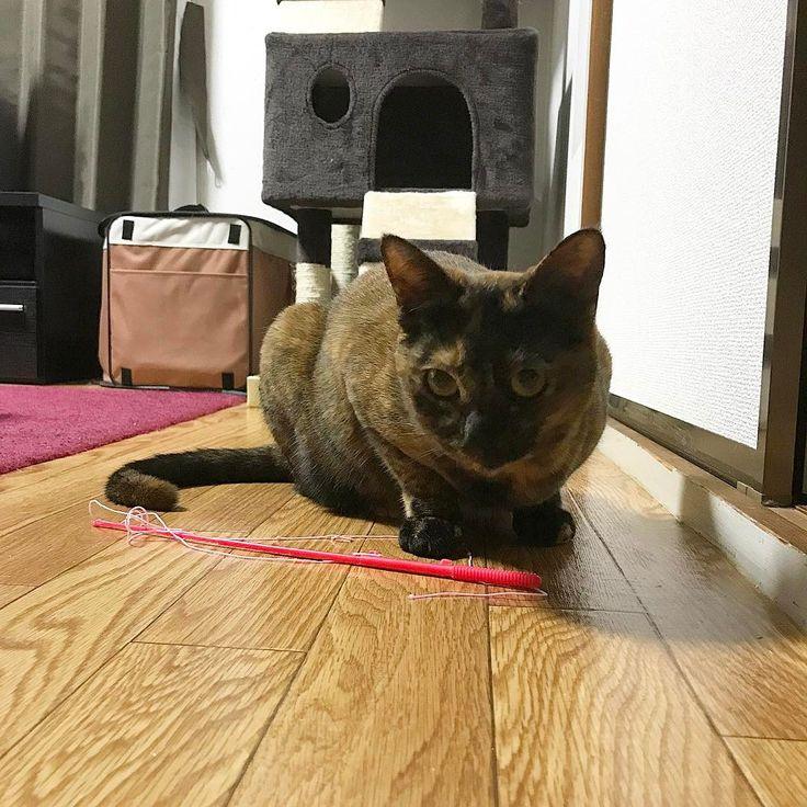 パールちゃんも寝るよ〜〜���� もう遊びはおしまい�� #cat#camera#photography#ig_myshot#instagramjapan#jp_photooftheday#igersjp#photoshoot #ねこ部 #猫のいる暮らし #にゃんだふるらいふ #ふわもこ部 #ハチワレ #サビ #ねこもふ団 #みんねこ #かわいい #love #元保護猫 #ひなた #パール http://tipsrazzi.com/ipost/1505166483973468778/?code=BTjbPFFD_Jq
