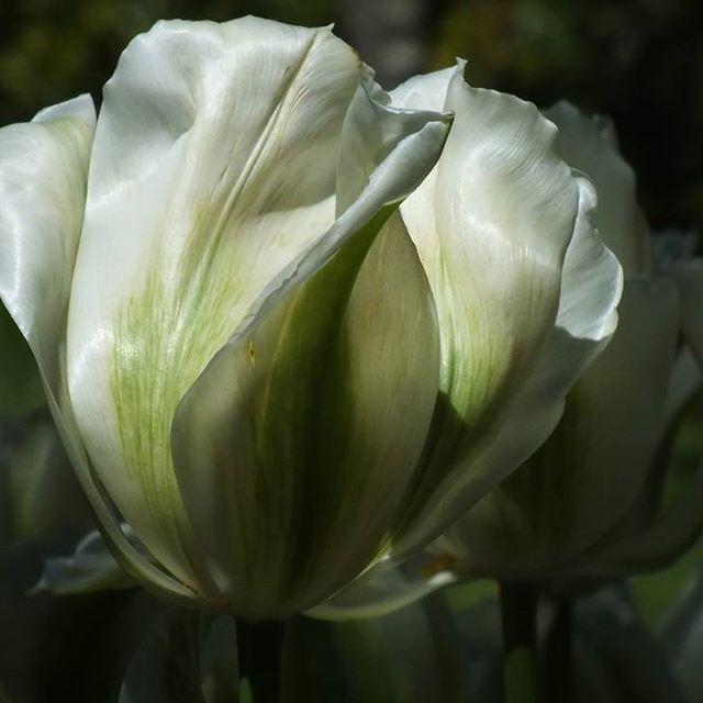 Blessed by Tulips by Jodee Watts  Wellington Botanical Gardens  New Zealand  #photooftheday #naturephotography #newzealand #nature #flowers #garden #botanicalgardens #gardens #amazingartofearth #landscape #photography #nzmustdo #gottalovenz #ShareMeWLG #jodeewatts #JoDWattsArt #beautifulnature #destinationnz #landscapephotography #newzealandguide #theworldstage #floweroftheday #springflowers