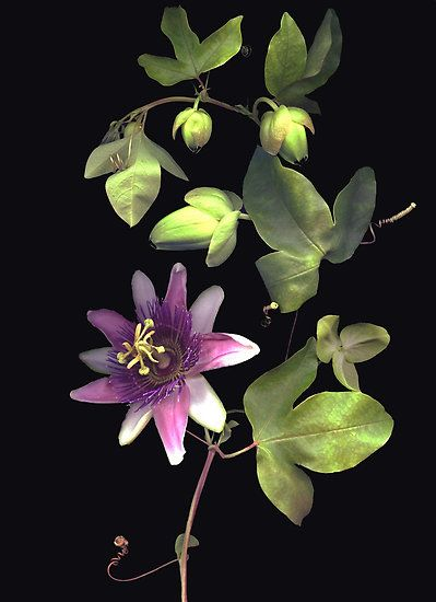 Barbara Wyeth--passion flower vine.  Another great inspiration piece.  I have three different color passion flowers in my garden.