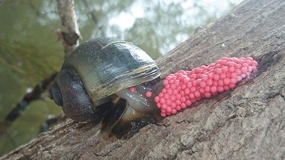 Hembra de caracol manzana (Pomacea maculata) realizando una puesta de huevos en un tronco de la ribera del Ebro (Tortosa, Tarragona). Foto: Cristóbal Rubio/Paleoymás Revista Ambienta