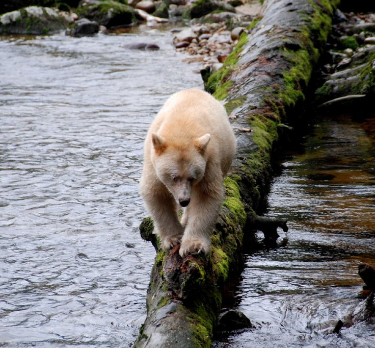 Spirit bear in BC's Great Bear Rainforest