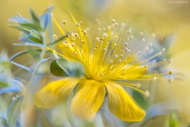 Kwiat, Dziurawca, Makro