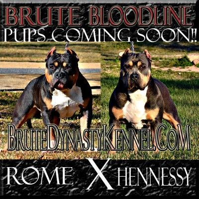BULLY PITBULL PUPPIES FOR SALE-POCKET BULLY BREEDER/BRUTE BLOODLINE KENNEL-XL PITBULL PUPPIES FOR SALE