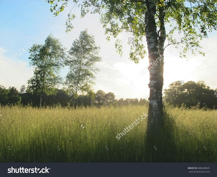 An idyllic landscape of European nature. Birch trees in a field with luminous grass. Larvik, Norway.