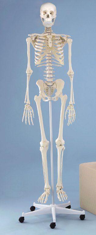 Modelo anatómico de esqueleto completo