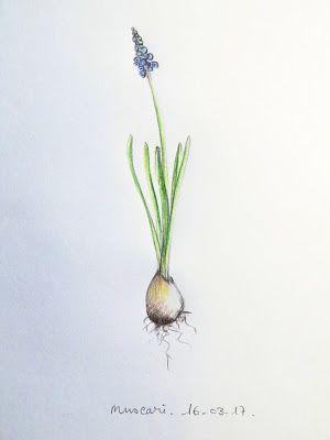 CaroLigne...: MuscariUne de mes plantes préférée ! Croquis rapi...