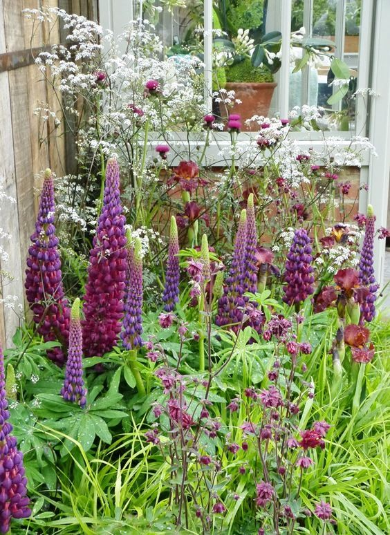 A garden filled with Lupins - how pretty