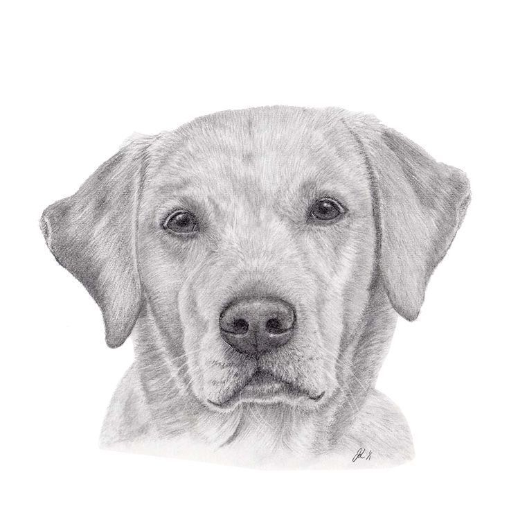 'Molly' The Yellow Labrador by Janine Lees (2015). Graphite Portrait.