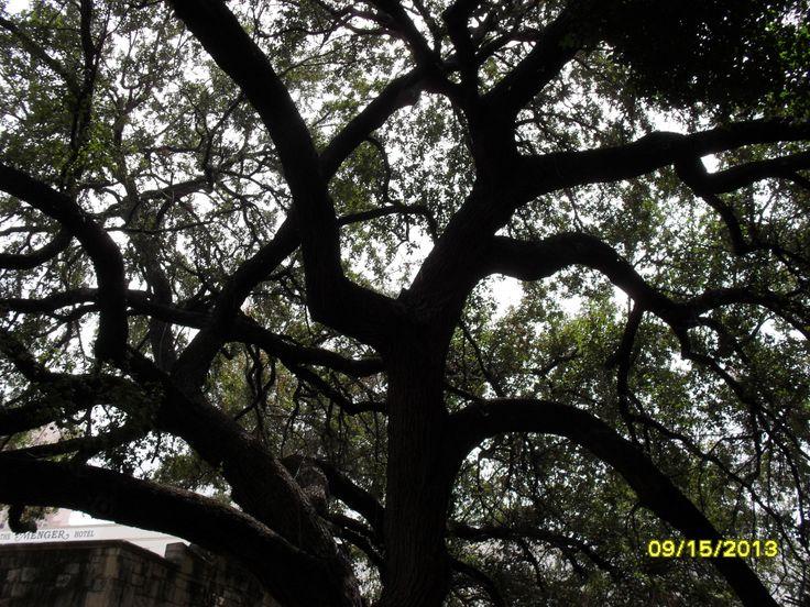 Live Oak Tree In Alamo Courtyard Trees Unique