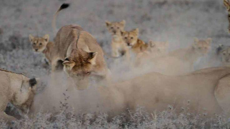 The Serengeti Lion | National Geographic Magazine