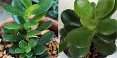 El árbol de Jade es una de las suculentas más valoradas y populares, en este post NATURALEZA TROPICAL nos cuenta TODO sobre sus cuidados.