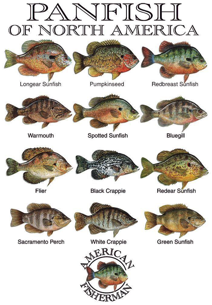 Panfish of North America #fishingbait | Fins, Furs, and