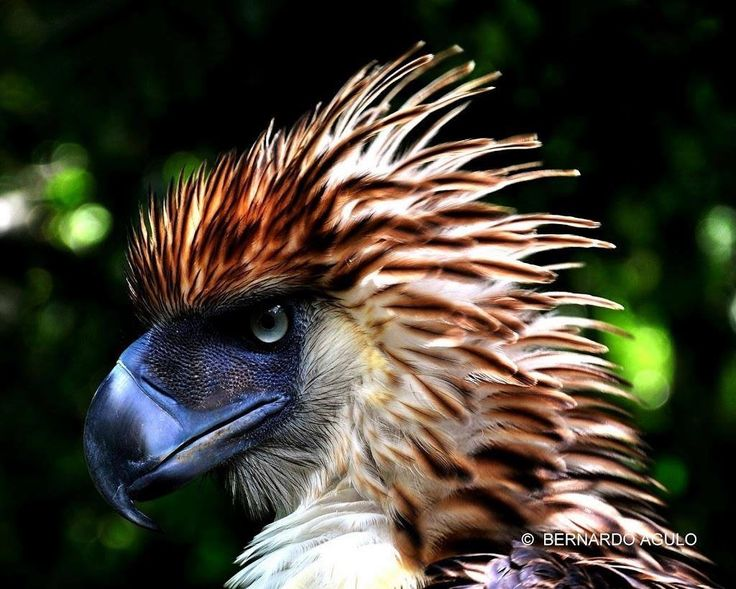 Pin by Lucille Nuanes on BirdsEagles Philippine eagle