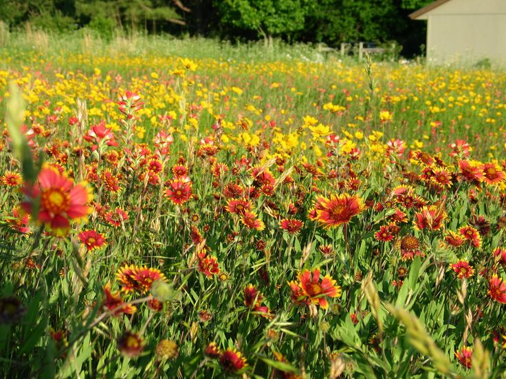 Wild Things Nursery - Oklahoma native plants   Plants ...