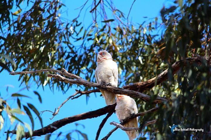 Mid afternoon siesta?! These Corella #cockatoos are enjoying the #sunshine  #SeeAustralia