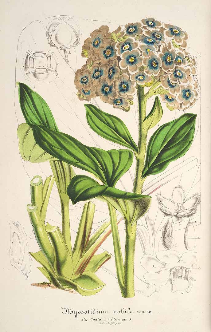 Chatham Islands forget-me-not - Myosotidium hortensia - circa 1859 - Endemic to the Chatham Islands, New Zealand