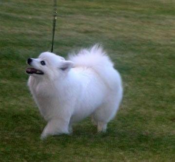American Eskimo Dogs Toy American Eskimo Dog Breeders Mini Puppies For