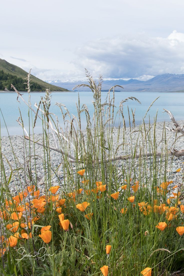 Wildflowers on the shoreline of Lake Tekapo, NZ by Susan Gan