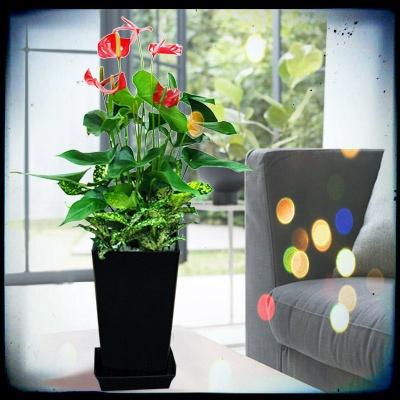 □■「エコ・プラント」って知ってる?■□    こんにちは、【bouquet】です。  一段と蒸してきましたね…    ところで「エコ・プラント」って聞いたことありますか?  「室内の空気をきれいにする植物」のことです。    そのエコプラントと呼ばれる中でも  今日ご紹介するのは「アンスリウム」。    花がハートの形のようなとてもユニークな姿をした人気のある植物です!    花言葉は「情熱」    みなさんもぜひ生活の一部に取り入れてください!    ---エコプラントのまめ知識---    新築住宅やリフォーム後の住宅で発生している気化した化学物質の蒸散・蒸発作用による室内環境改善の働き、呼吸によって排出されたガスを改善させる働き、目の疲れを軽減したり、リラクゼーション効果などその効用は多岐にわたります。その仕組みは、まず葉の気孔から取り入れた空気に含まれた有毒ガスの約30%は葉が吸収し、残りの約70%は根に運ばれます。それを根のまわりに共生する微生物が吸収分解し無毒化してくれます。
