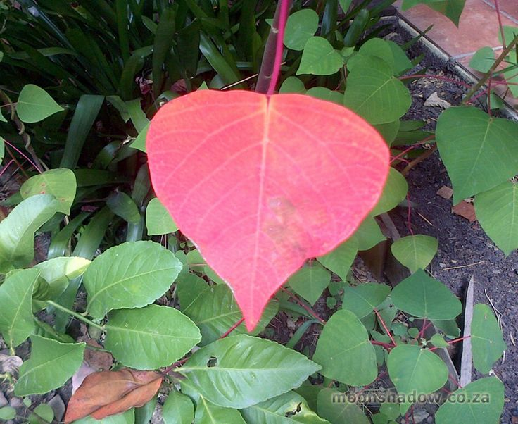 First signs of Autumn in Moonshadow's Garden.   #Swellendam #Overberg #SouthAfrica
