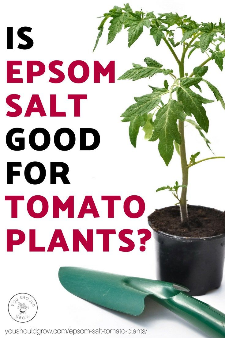 5 Unbelievable Things Epsom Salt Does For Tomato Plants With