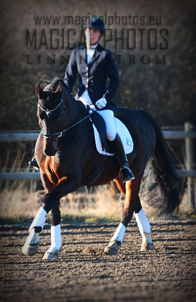 caletino, dressage horse