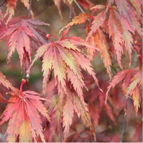 ACER palmatum SHERWOOD FLAME (Érable du Japon palmé Sherwood Flame) - Feuillage pourpre rouge lumineux au printemps, plus sombre en été. Il vire rouge écarlate à l'automne.