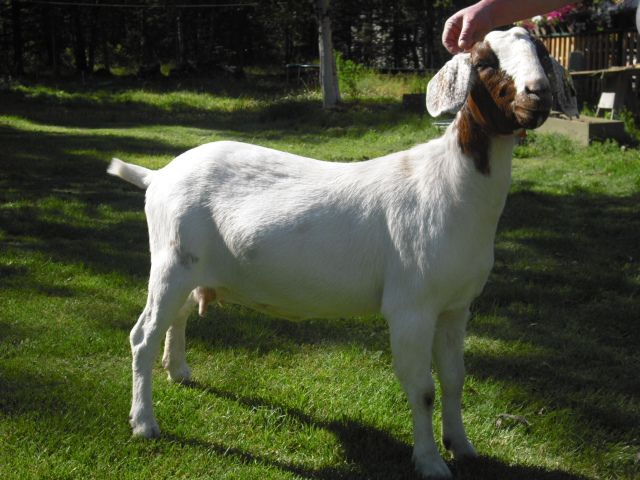 training goats to show