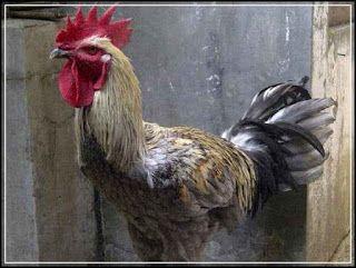 ayam pelung lurik - 4 Tips Cara Melatih Suara Ayam Pelung Agar Mampu Berkokok Secara Maksimal   www.agrinak.com