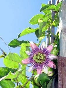 how to grow passion flower in container