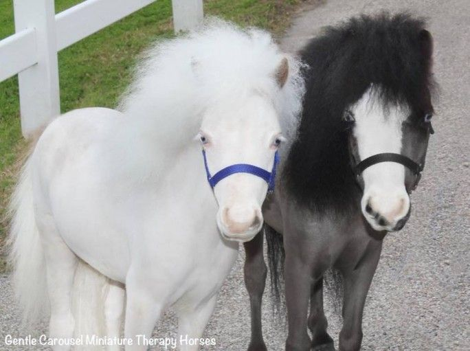 Gentle Carousel Miniature Therapy Horses bring love to those who need it most, whether that is patients who are in the hospital or hospice, veterans returning from serving overseas, families who have experienced traumatic events, those in assisted living programs … Continue reading →