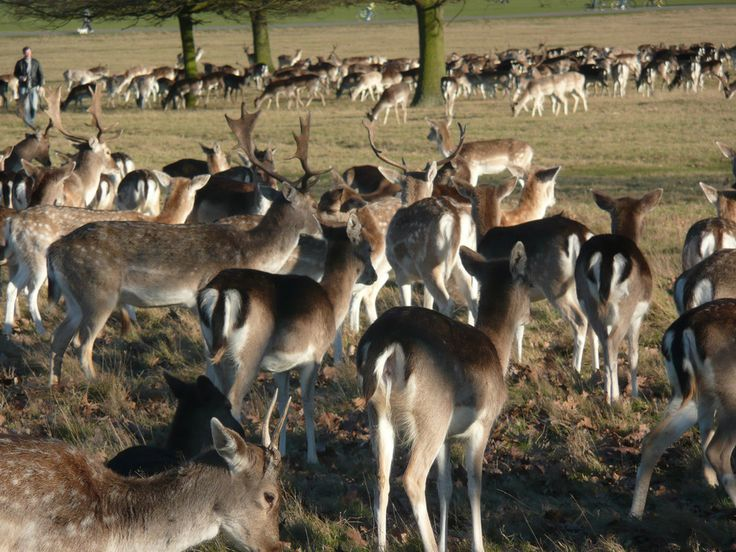 Because there are wild deer in Richmond Park. | 57 Reasons Living In London Ruins You For Life