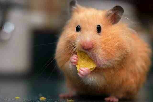 Best Food For Syrian Hamsters
