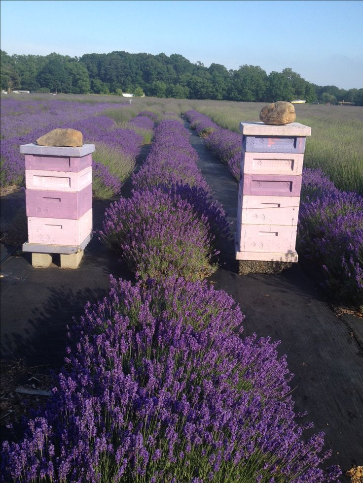 I would love to taste this honey!  Beehives in a lavender field..beauty and the bees...