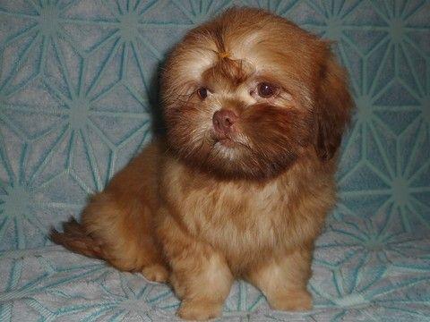 Litter of 6 Shih Tzu puppies for sale in WEST CHICAGO, IL. ADN-46450 on PuppyFinder.com Gender: Male. Age: 4 Months Old