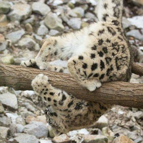 Some light Sunday reading for you: 7 Essential Facts about Snow Leopard Cubs! http://www.snowleopard.org/7-essential-facts-about-snow-leopard-cubs Courtesy of Facebook Snow Leopard Trust