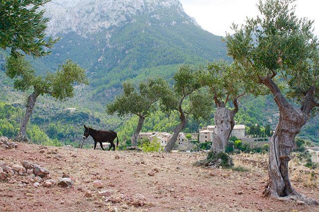 Have you met Pancho, Luna and Alba - our resident donkeys?  #BelmondPostcards by @sharlenechiu #Deia #Mallorca #Spain