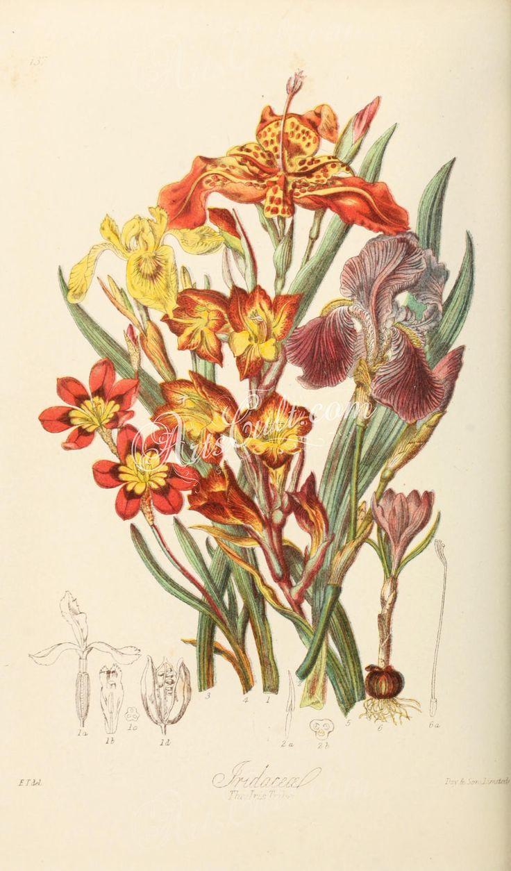 137-iris pseud acorus, iris germanica, tigridia pavonia, sparaxis tricolor, gladiolus psittacinus, crocus vernus      ...