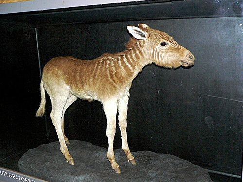 Preserved quagga foal. It is unknown if this was a very rare sub-species of zebra or a seperate species.