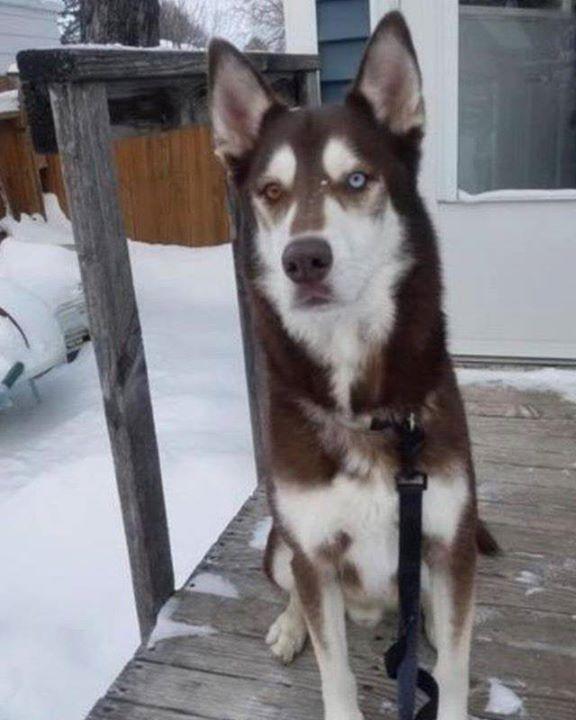 Lost Dog Minneapolis Siberian Husky Male Date Lost 03 15 2019