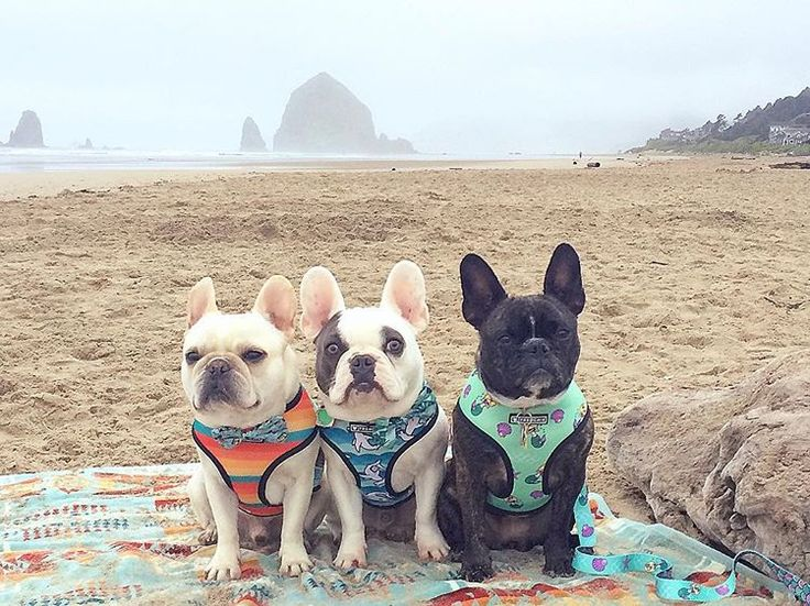 Chloe, Winston, and Dexy, French Bulldogs at the Beach