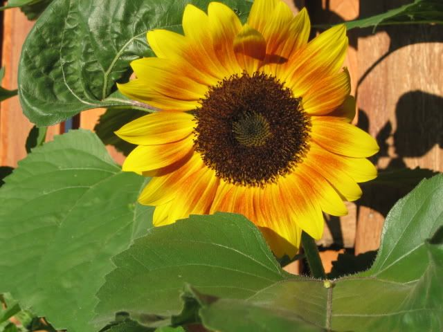 Plant sunflower seeds now and watch them grow all summer