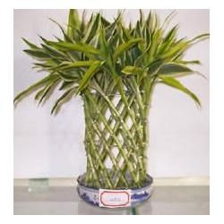 China little cage shape lucky bamboo for sale