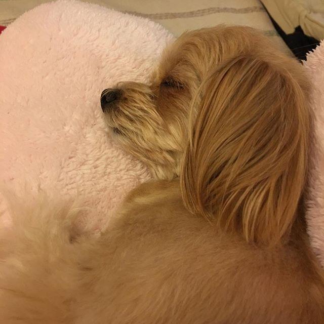 Good night.😴💤 ・ ・ ・ #ひな#チワワ#スムース#チロル#ちわぷー#チワプー#ミックス#chipoodle#Chihuahua#プーチー#ちろる#ちーたん#Poodle#Teacup poodle#かわいい#귀여워#Cute#mixdog#愛犬#ワンコ#犬#pet#LOVE#親バカ#ふわもこ部#ig_dogphoto #todayswanko