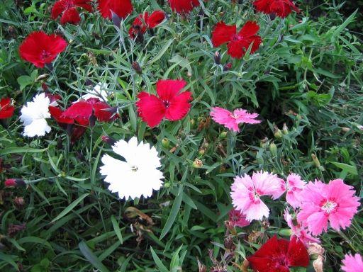 Kesäneilikka - Dianthus Barbatus -ryhmä
