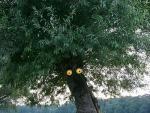 Struwwelpeterbaum, Kopfweide mit zwei leuchtenden Augen am Stamm, © Foto: Stefan Cop