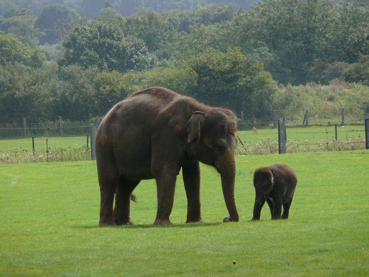 File:Indian Elephant .jpg - Wikimedia Commons