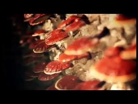 Ganoderma Lucidum for Spain: a medicinal mushroom used for 4000 years